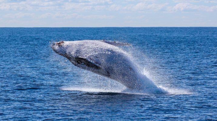 Un esemplare di balena